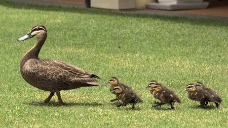 Duck_&_Ducklings_Morning_Walk-sm
