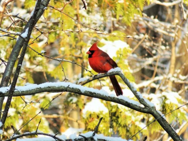 Cardinal bird on branch in winter