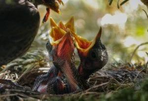 oiseaux en nid