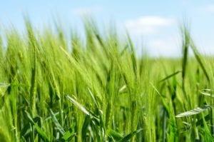 barley plants growing in a field