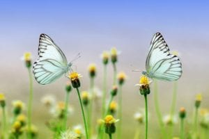 butterflies on flowers in a field