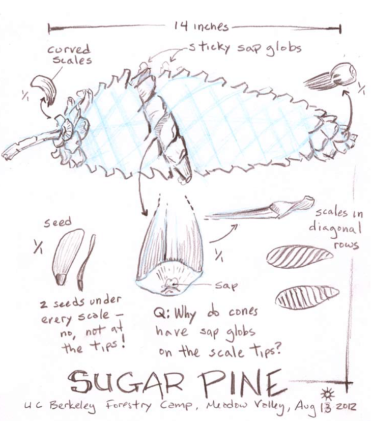 Sugar Pine Journal Entry