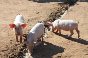 Piglets on the volleyball court
