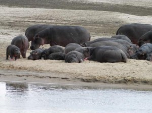 Learning to live in groups like hippos